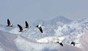 Geese flying over scenic Cascade Mountains